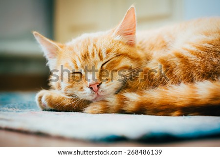Peaceful Orange Tabby Male Kitten Curled Up Sleeping On Floor - stock photo