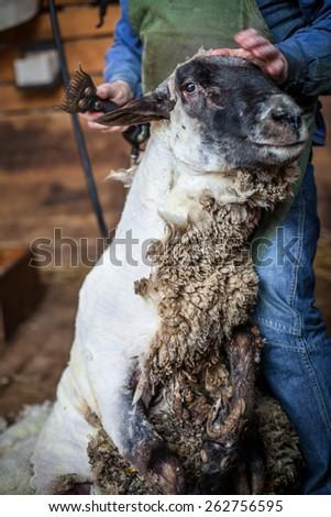 Peaceful ram waiting for shearing - stock photo
