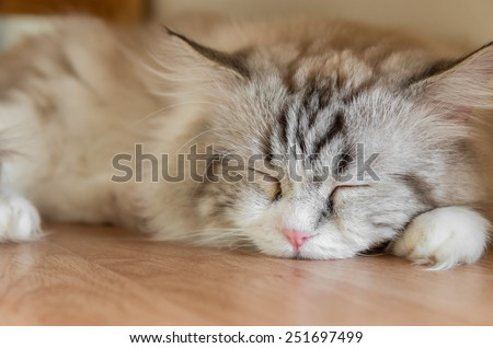 Peaceful red tabby cat curled up sleeping in the house, on wooden floor - stock photo