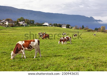 peaceful scene with cows - stock photo