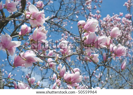 Peaceful Scene  with Magnolia Flowers in Spring - stock photo