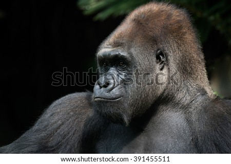 Peaceful Silverback Gorilla