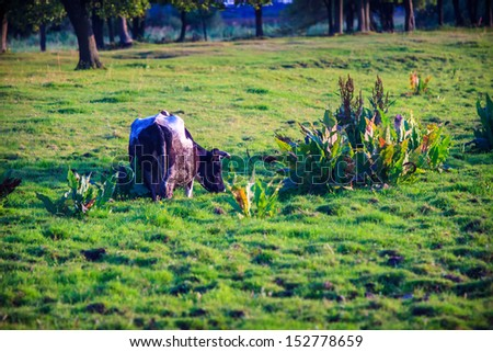 Peaceful view of cow grazing on meadow - stock photo