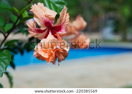 Peach and red double hibiscus blooms in the sunshine with a blurred blue swimming pool background. - stock photo