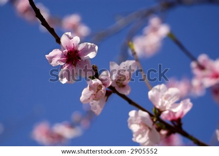 Peach blooms in the Spring. - stock photo