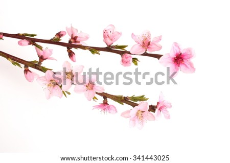 Peach blossom, - stock photo
