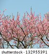 peach blossom bloom in an orchard - stock photo