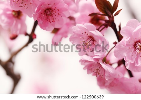 Peach blossom in spring. - stock photo