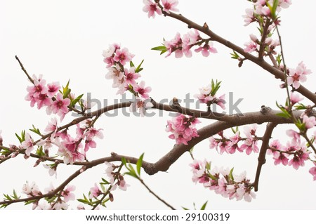 peach blossom on white background - stock photo
