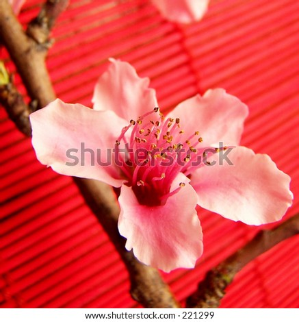 peach blossom, red background - stock photo