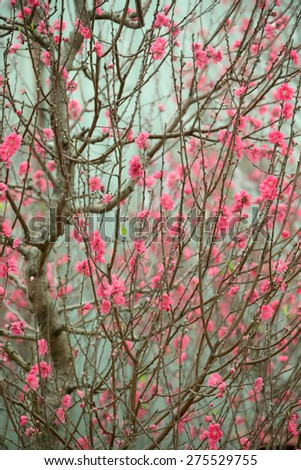 Peach Blossoms (for TET), in Hanoi, Vietnam - stock photo