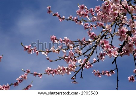 Peach blossoms in an orchard. - stock photo