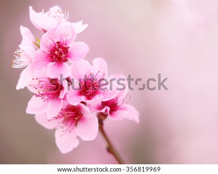 peach blossoms in spring. - stock photo