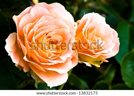 Peach Colored Roses - stock photo