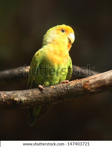 Peach-Faced Lovebird on branch (Agapornis, nuri_LUME)  - stock photo