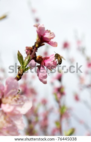 Peach Flower & Bee - stock photo