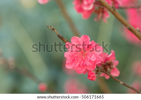 Peach flower on tree. Peach flower is symbol of Vietnamese Lunar New Year - Tet holidays in north of Vietnam