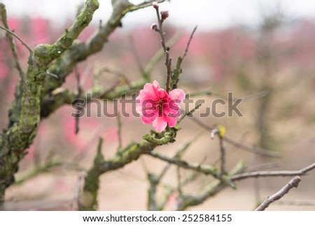 """Peach flower, the symbol of Vietnamese lunar new year. In nearly every household, crucial purchases for Tet include the peach """"hoa dao"""" and kumquat plant - stock photo"""