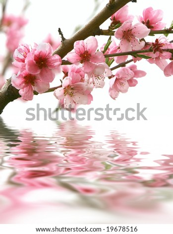peach flowers and reflection over white - stock photo
