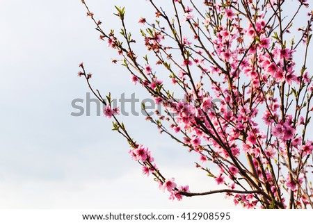 peach flowers on twigs with gray sky background in spring evening