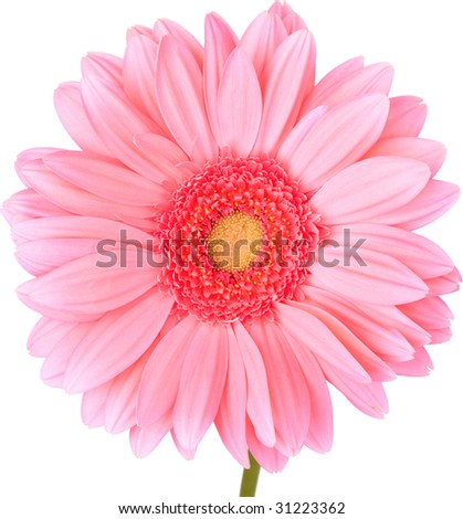 Peach Gerbera Daisy Isolated On White ~ Clipping Path Included - stock photo