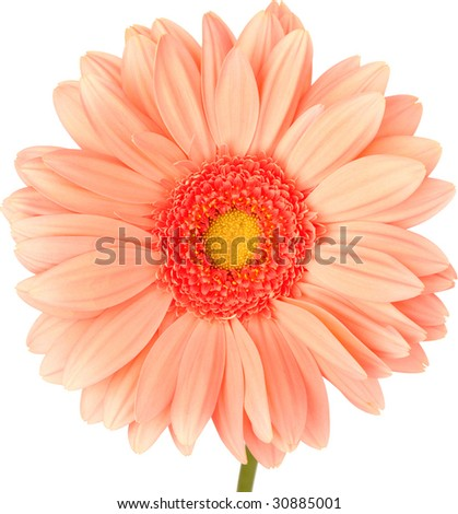 Peach Gerbra Daisy Isolated On White ~ Clipping Path Included - stock photo