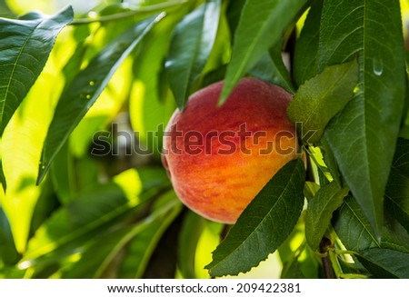 Peach hanging from limb of peach tree in orchard during summer in Pennsylvania. - stock photo