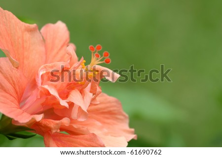 Peach Hibiscus - stock photo