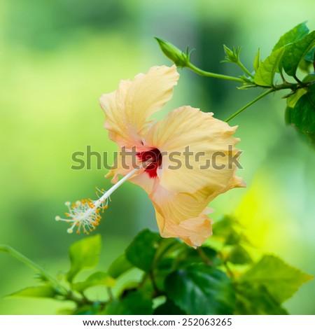 peach Hibiscus flower head on green blurred background, closeup  - stock photo