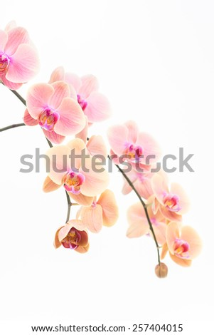 Peach Moth orchids close up over white background - stock photo