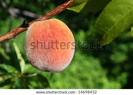 Peach on tree macro with green blurred background