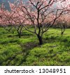 Peach orchard in bloom - stock photo