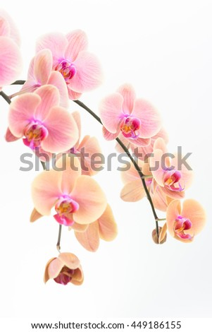 Peach Phalaenopsis orchids close up over white background