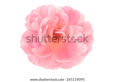 Peach pink garden rose flower isolated on a pure white background - stock photo