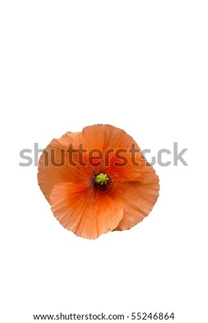 Peach Poppy Flower Isolated on White - stock photo