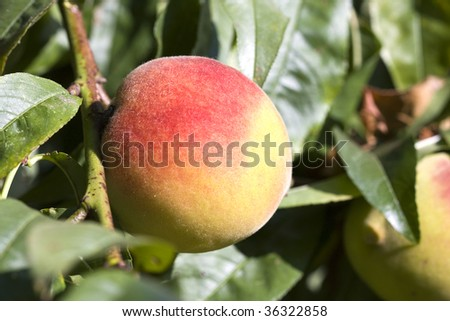 peach ripening on the tree