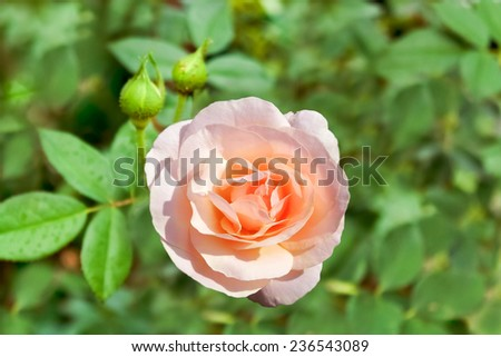 Peach rose. Very lovely peach colored rose - stock photo