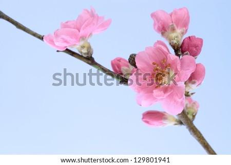 Peach tree_Flower of the Girl's Festival in Japan - stock photo