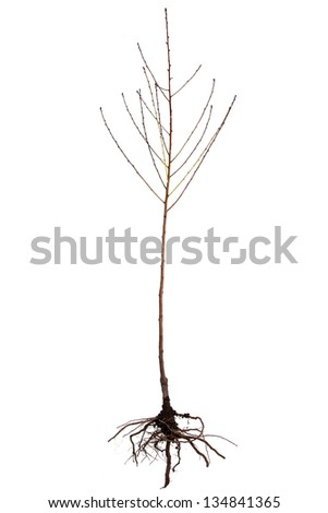 Peach tree seedling isolated on white background - stock photo