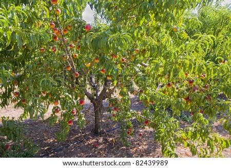 Peach tree with fruit - stock photo