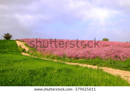 peach trees in a field blossoming at springtime - stock photo