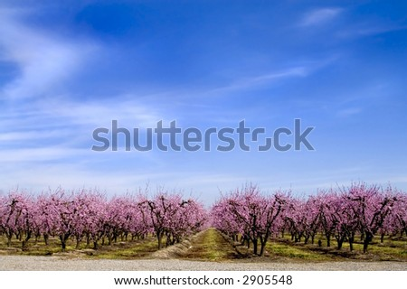 Peach trees in bloom. - stock photo