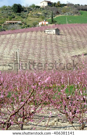 peach trees in flower in Sicily, Italy, Europe - stock photo