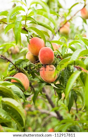 Peaches fruits on a branch in the orchard - stock photo