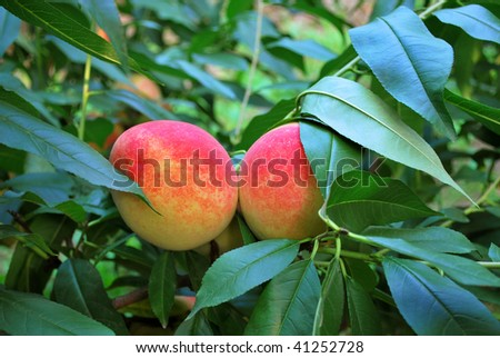 Peaches in harvest season and the branches are bent with ripe fruits. - stock photo