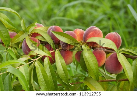 Peaches on a tree branch - stock photo