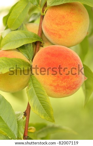 Peaches on the branch of a tree. - stock photo