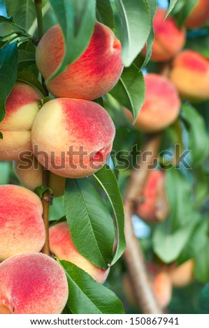 Peaches on the tree branches - stock photo