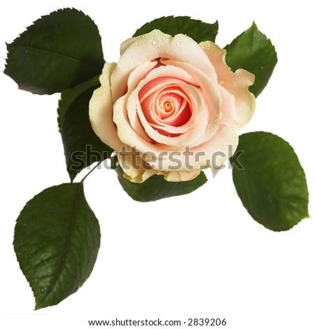 Peachy rose close up - stock photo