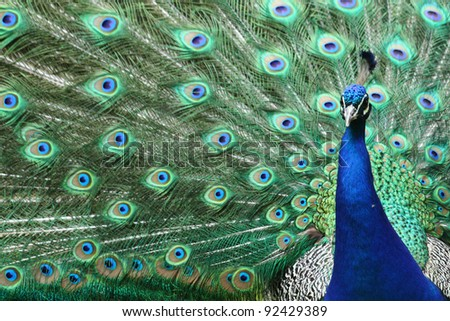 peacock - stock photo